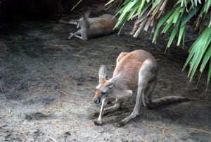 Red Kangaroo2