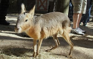 Patagonian Cavy7
