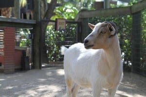 Paws on Petting Zoo goat profile