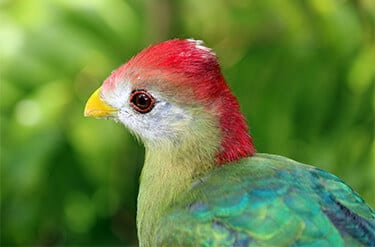 Red-crested Turaco2