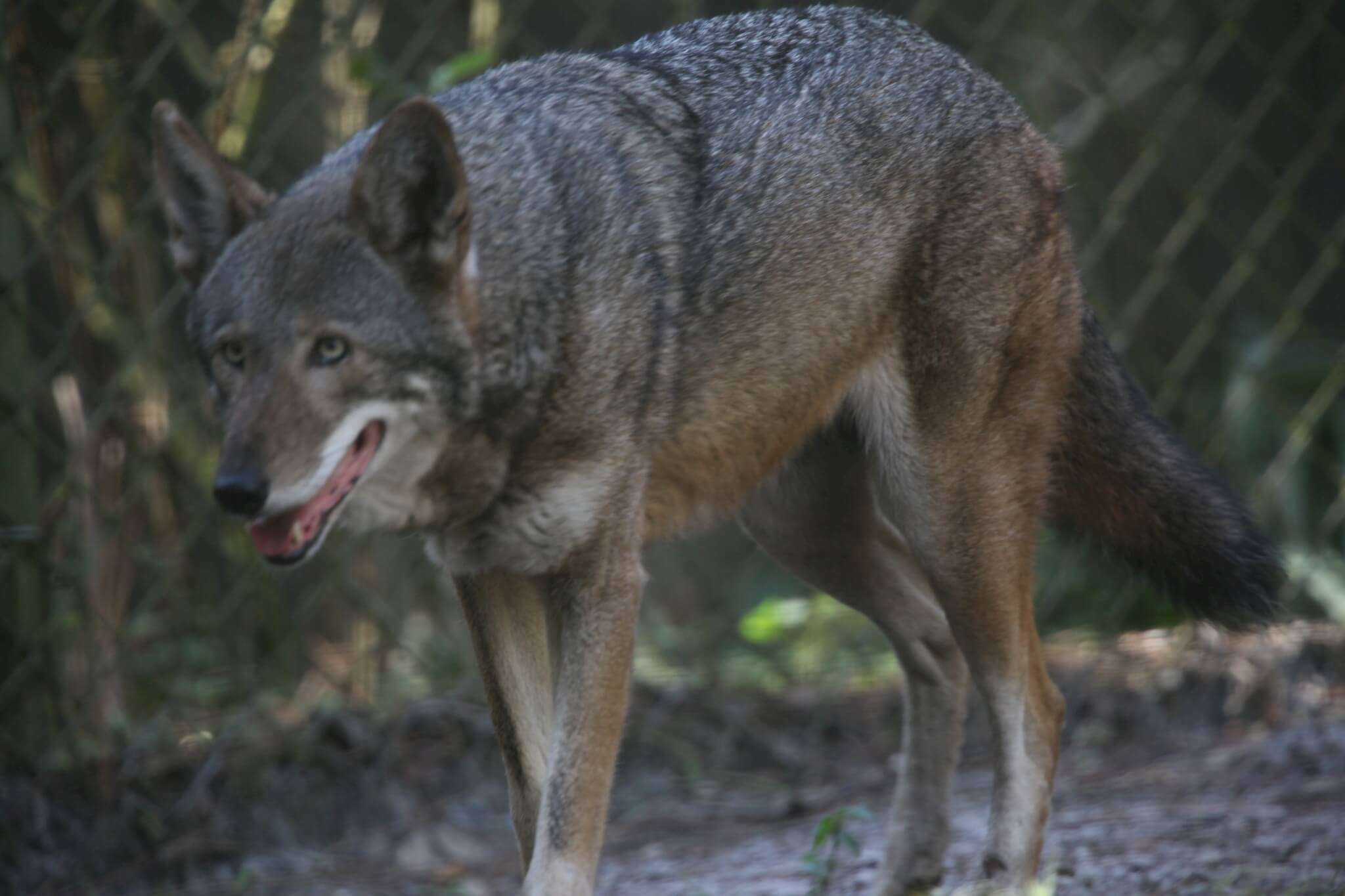 reintroduction of the mexican wolf Wolf reintroduction is a program to bring back the wolves, particularly the gray and red wolves, in their natural habitats the united states government made an.