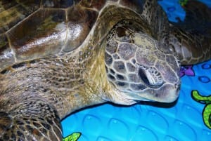 Rescued Sea Turtles