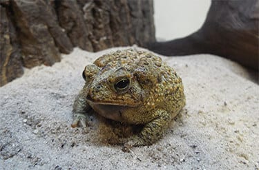 SouthernToad_Facts