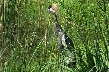 West African Crowned Crane3