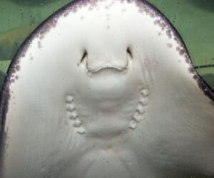 Bottom side of Atlantic stingray