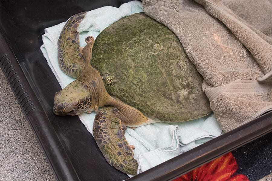 Cold-stunned green sea turtle covered with towels