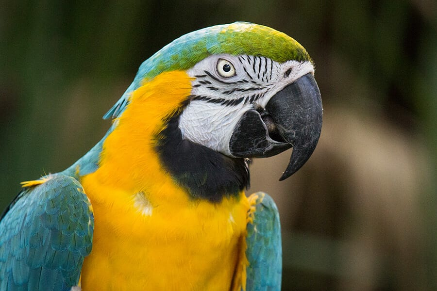 Colonel a blue-and-yellow macaw