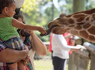 Toddler feeding a giraffe