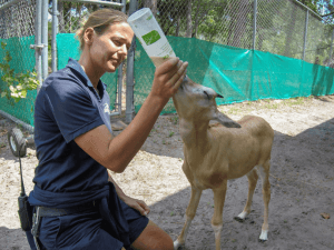 Keeper bottle-feeds baby oryx