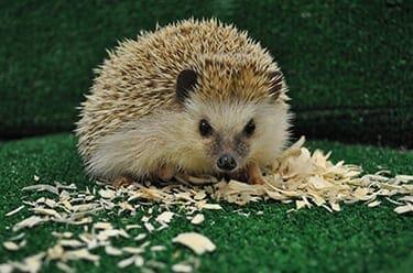 African Pygmy Hegehog