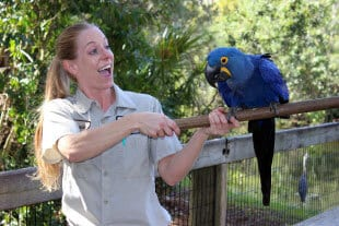 Keeper and hyacinth macaw on perch