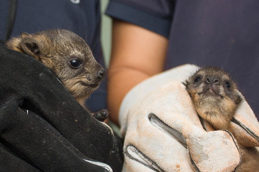Rock hyrax pups