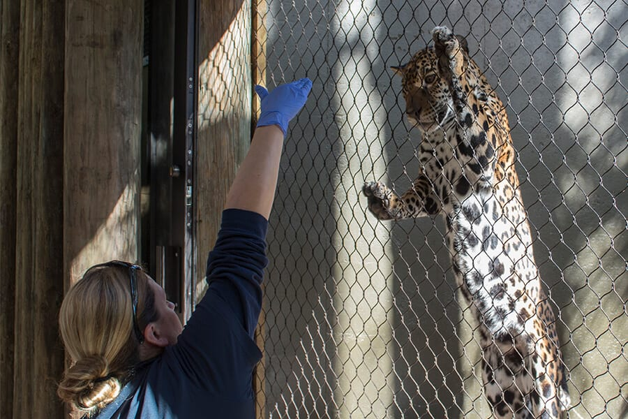 Keeper training jaguar