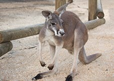 Kangaroo in the walkabout