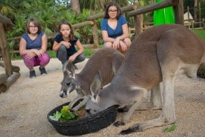 Kangaroos eat in front of guests
