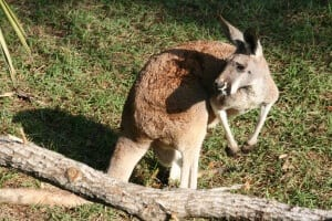 Red Kangaroo5