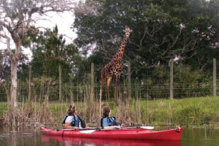 kayaking with giraffe