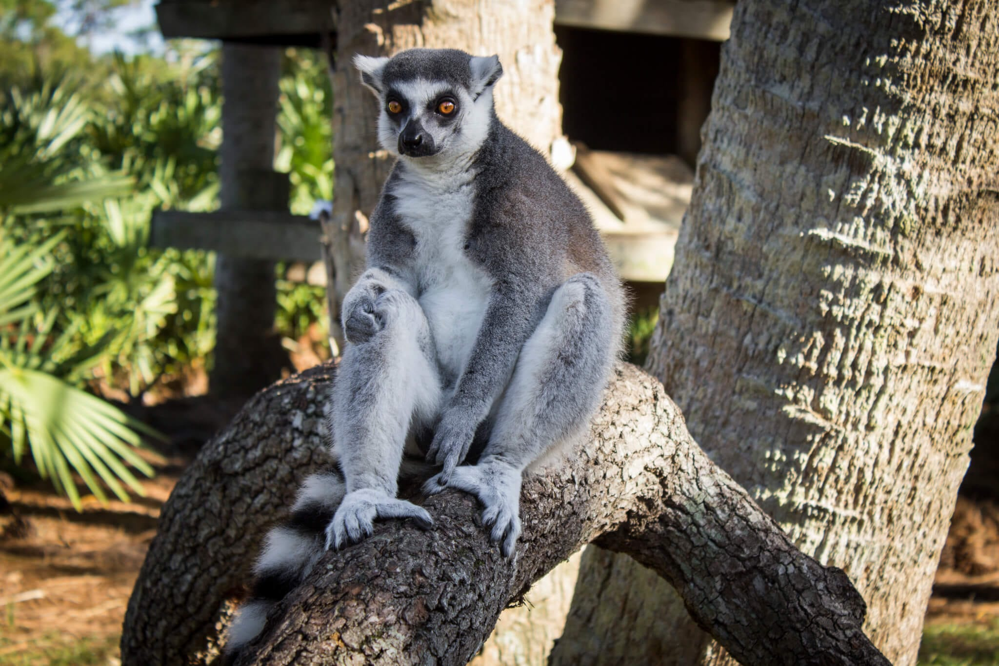 Ring-tailed lemur sitting on a tree