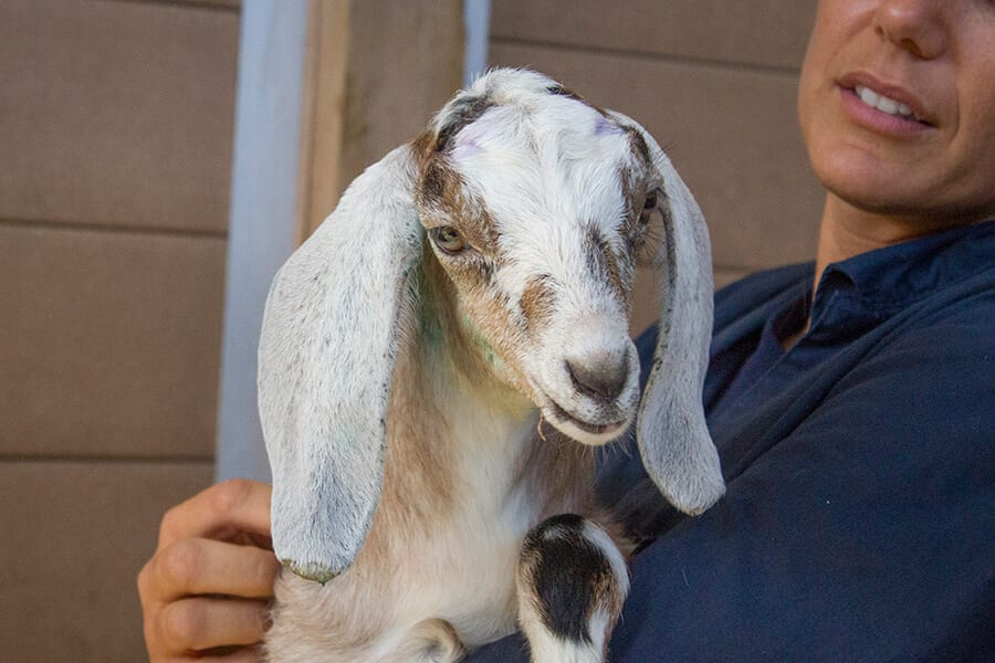Lilly the Nubian goat
