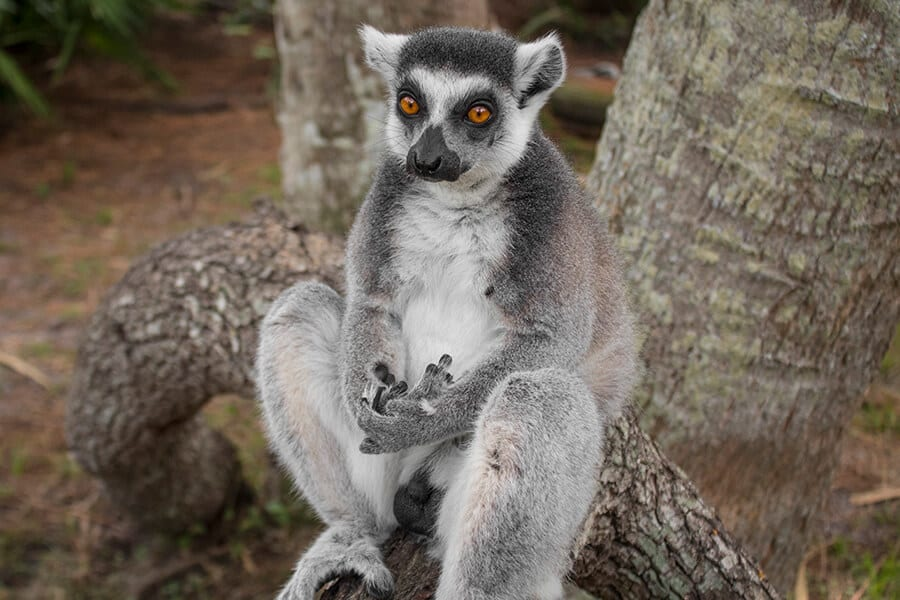 Luke a ring-tailed lemur