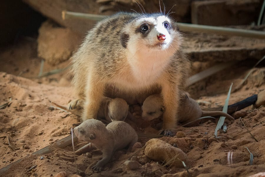 Mother and three meerkat pups