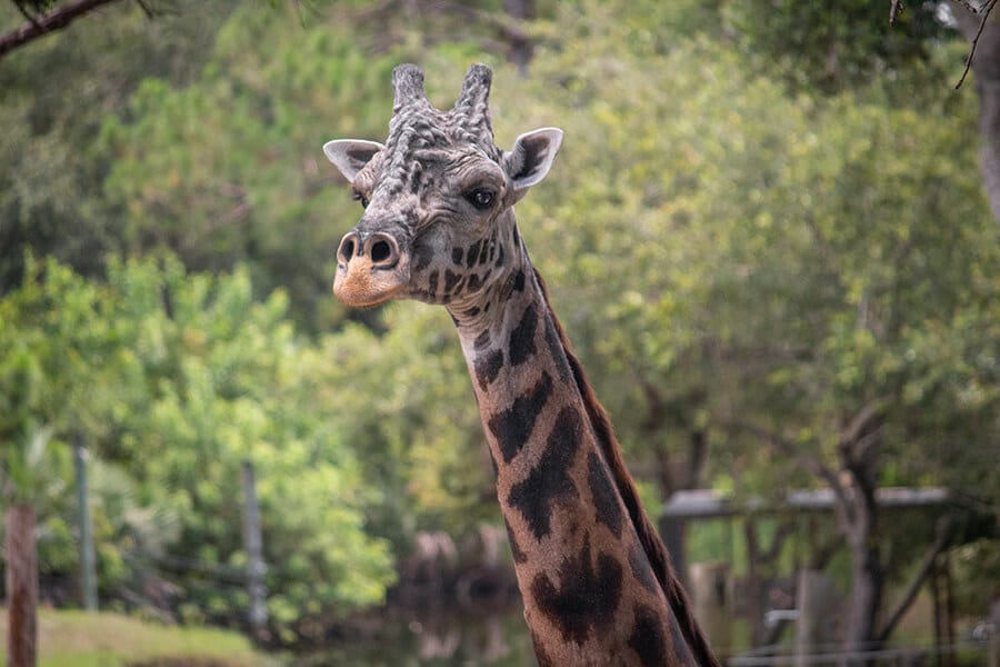 Rafiki the giraffe