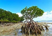 restore protect mangroves