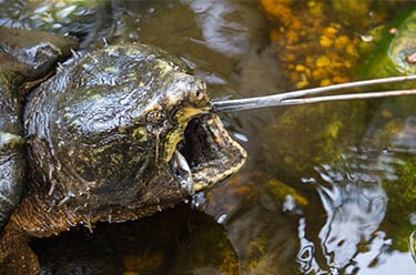 Alligator Snapping Turtle being fed
