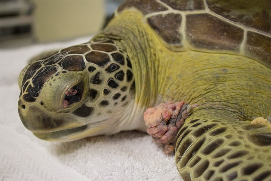 FP tumors growing on green sea turtle Toni's front flipper and eye
