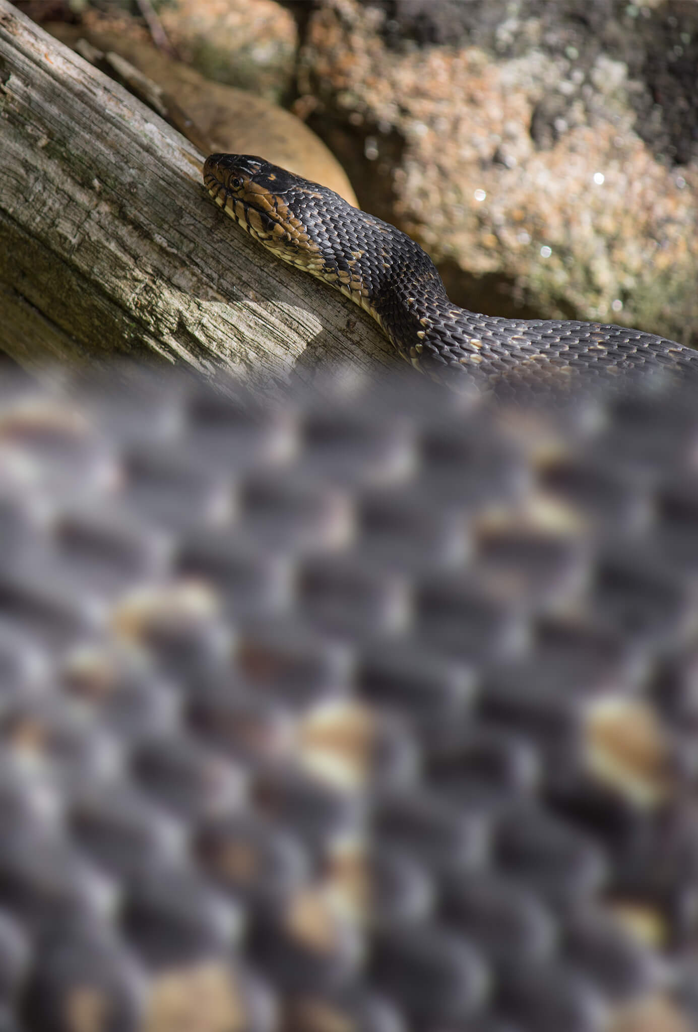 Southern Water Snake